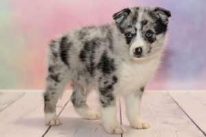Pomsky Puppies Why You Need One Of These Pups In Your Life