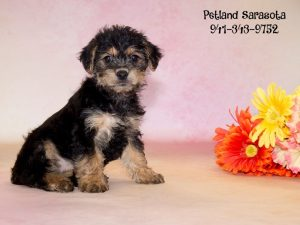 Yorkie Poo Puppies For Sale Is The Yorkie Poo The Right Dog Breed