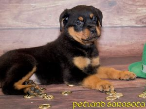 Rottweiler Puppies For Sale Getting To Know The Rottweiler Dog