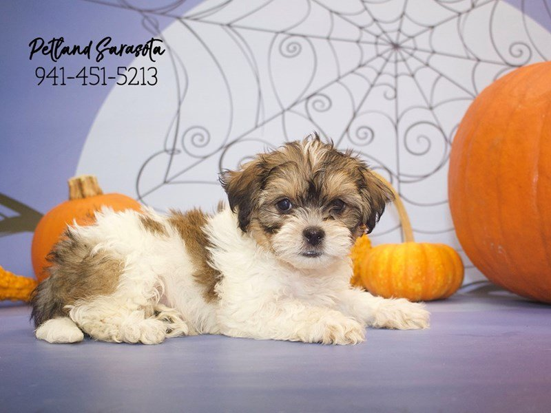 Malti-Shi-Male-brown white-1919897-Petland Sarasota