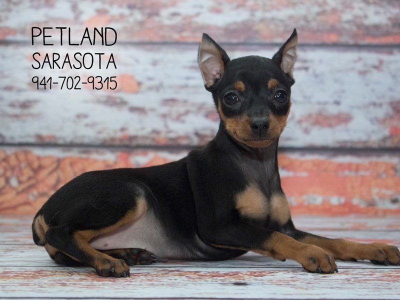 Miniature Pinscher-DOG-Female-Black / Tan-2095308-Petland Sarasota