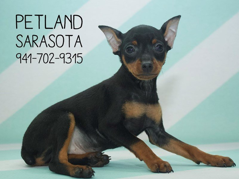 Miniature Pinscher-Male-Black / Rust-2120803-Petland Sarasota