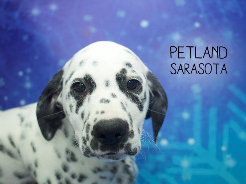 Dalmatian-Female-White / Black-2223238-Petland Sarasota