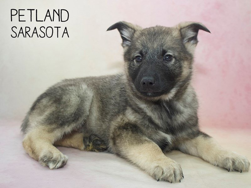 Norwegian Elkhound-Male-Sable-2264567-Petland Sarasota