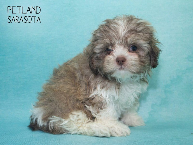 Shih Poo-Male-BROWN WHITE-2285596-Petland Sarasota