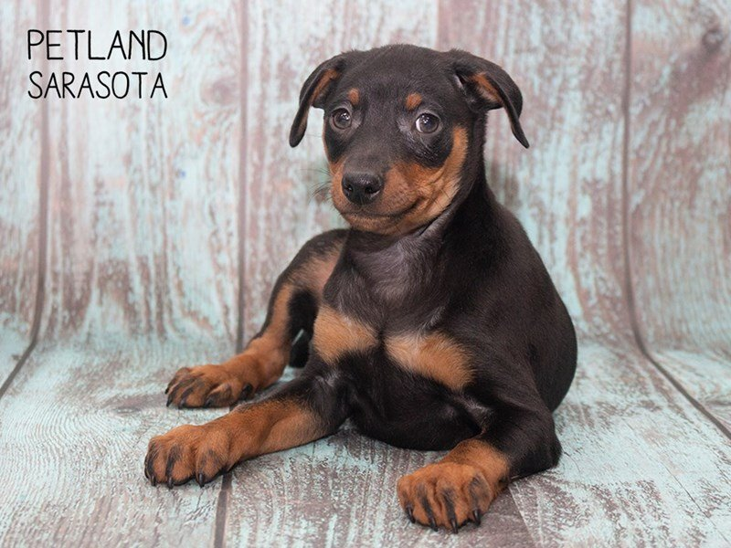 Miniature Pinscher-Male-BLACK TAN-2302884-Petland Sarasota