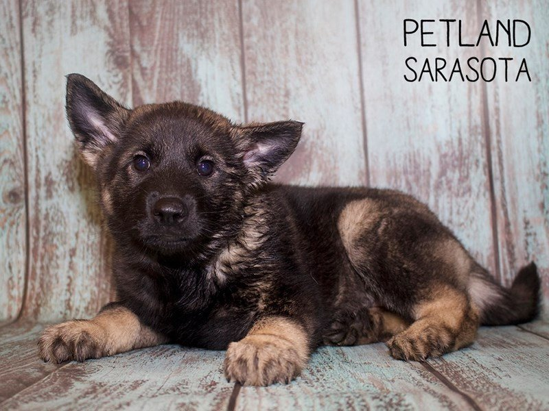 Norwegian Elkhound-Female-Gray-2402519-Petland Sarasota