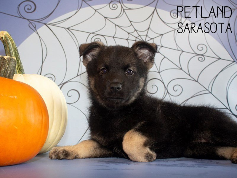 Norwegian Elkhound-Female-Black / Silver-2473688-Petland Sarasota