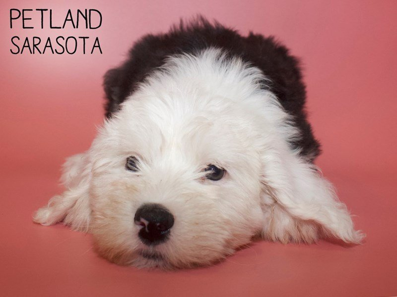 Old English Sheepdog-Female-Black White-2624921-Petland Sarasota