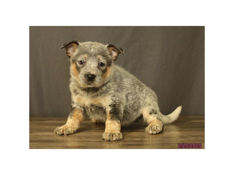 Australian Cattle Dog-Female-Blue Mottled-2644414-Petland Sarasota
