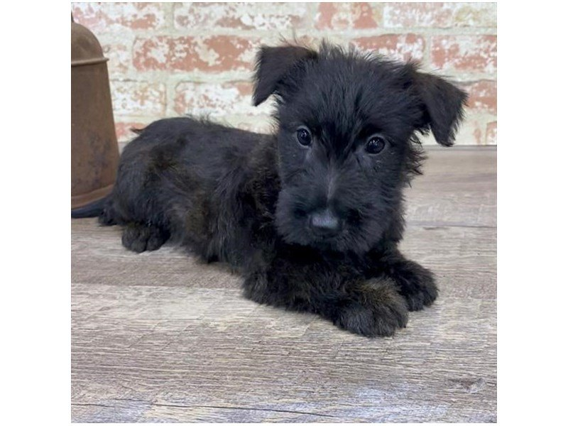 Scottish Terrier-Male-Black-2690566-Petland Sarasota