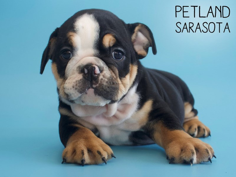 English Bulldog-Male-Black-2704195-Petland Sarasota