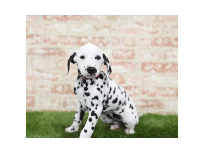 Dalmatian-Female-White / Black-2710702-Petland Sarasota