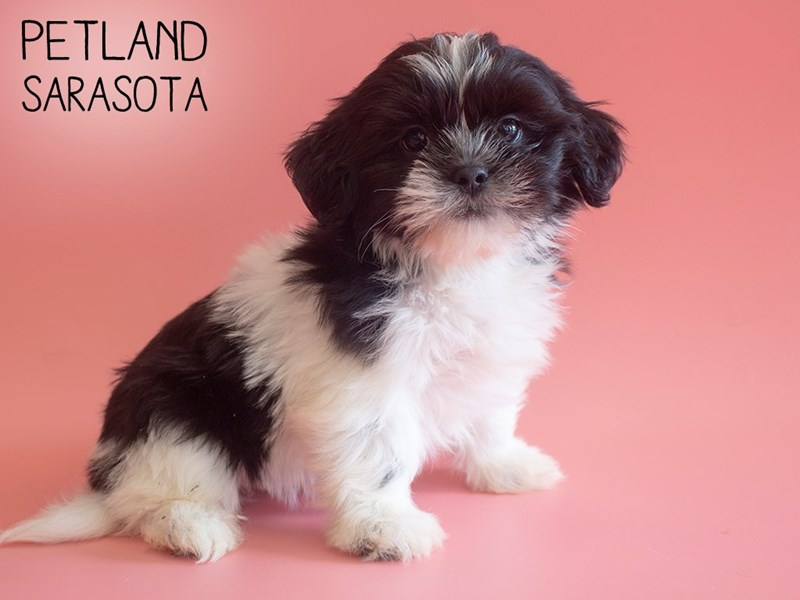 Lhasa Apso-Female-Black / White-2738307-Petland Sarasota