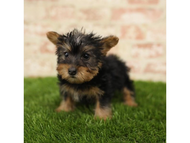 Silky Terrier-Female-Black / Tan-2724072-Petland Sarasota