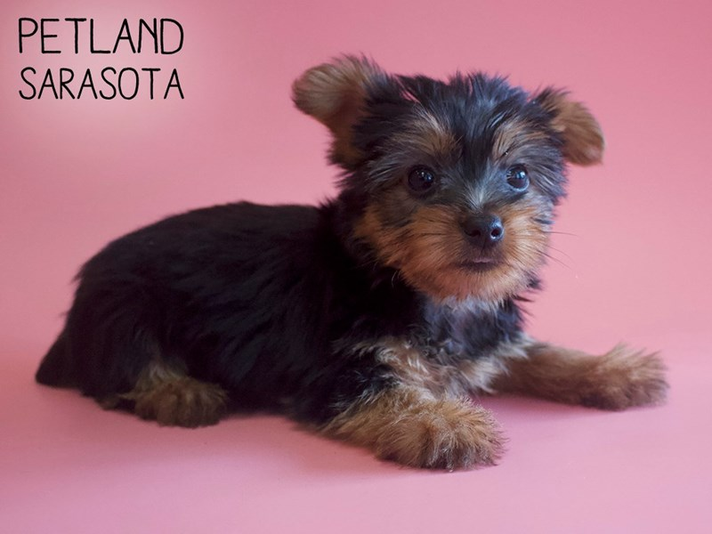 Silky Terrier-Female-Black / Tan-2745942-Petland Sarasota