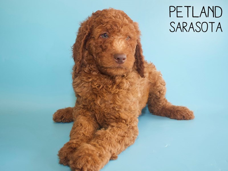 Miniature Poodle-Male-Red-2756065-Petland Sarasota