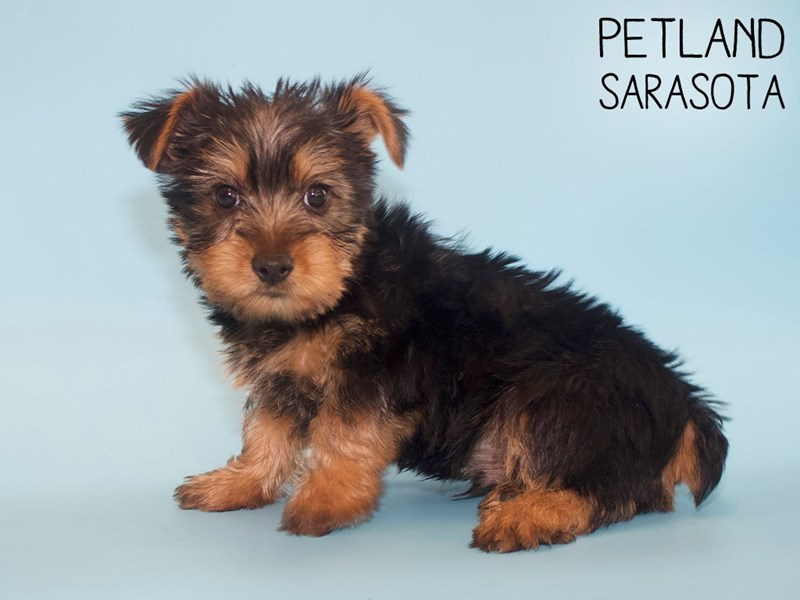 Silky Terrier-Male-Black / Tan-2760976-Petland Sarasota