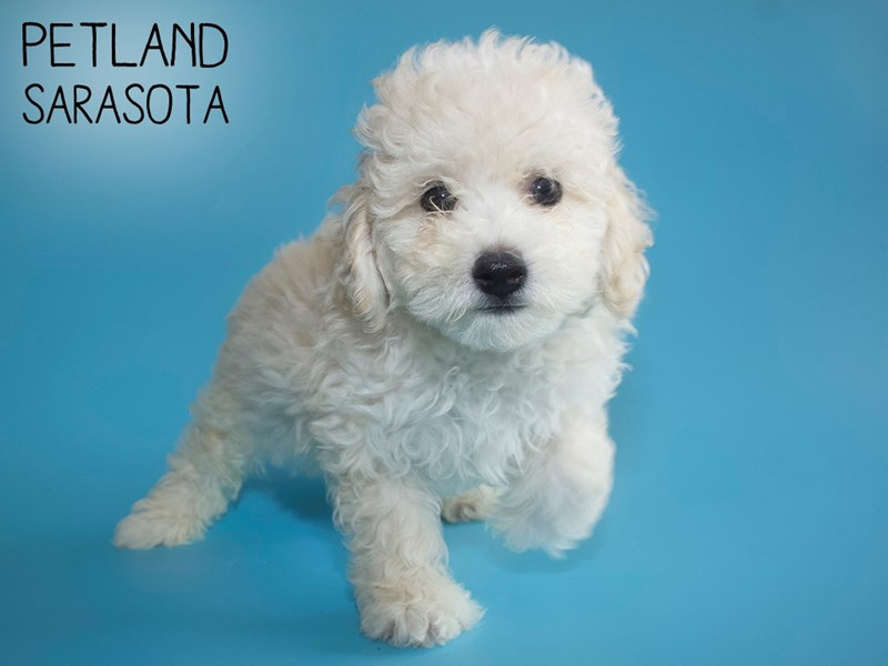 Miniature Poodle-DOG-Male-Cream-2752932-Petland Sarasota