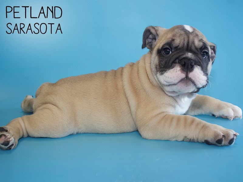 English Bulldog-Male-Fawn-2761032-Petland Sarasota