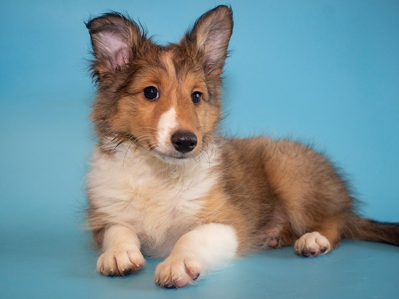 Shetland Sheepdog-DOG-Male-Sable & White-2764070-Petland Sarasota