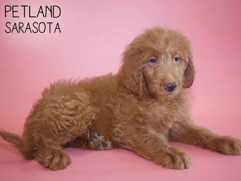Labradoodle-Female-Red-2787005-Petland Sarasota