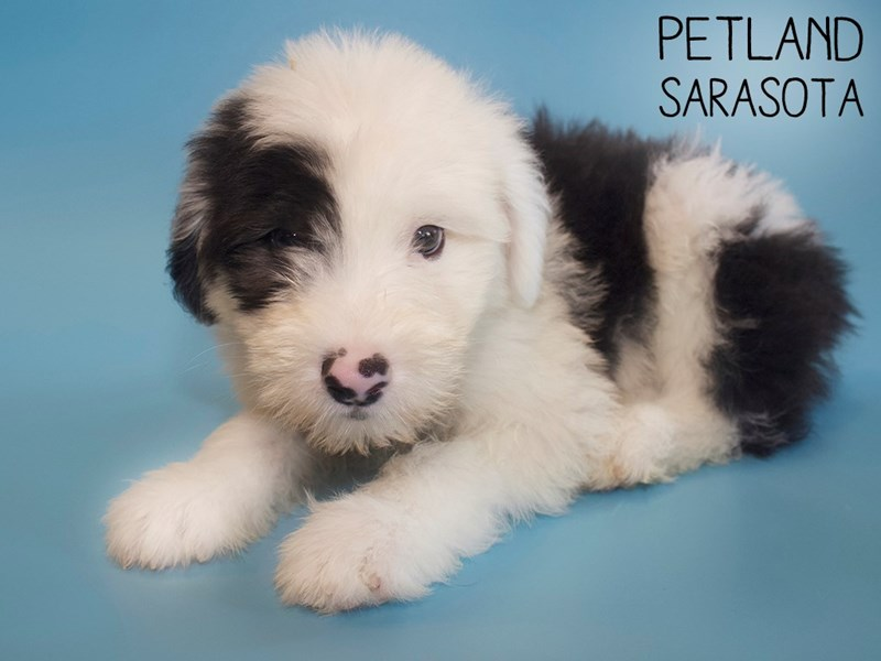 Old English Sheepdog-Male-Black White-2816783-Petland Sarasota
