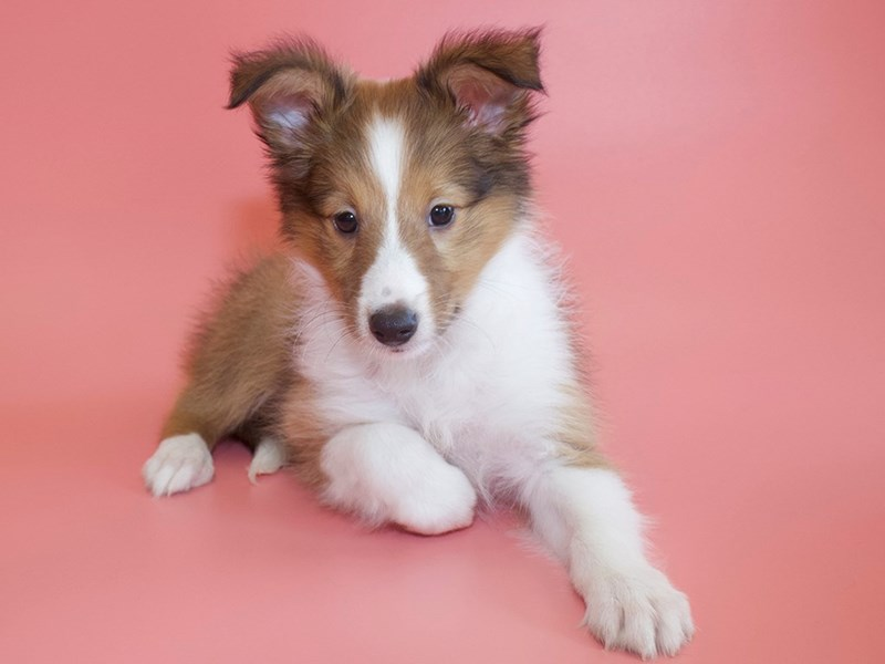 Shetland Sheepdog-DOG-Female-Sable / White-2829038-Petland Sarasota