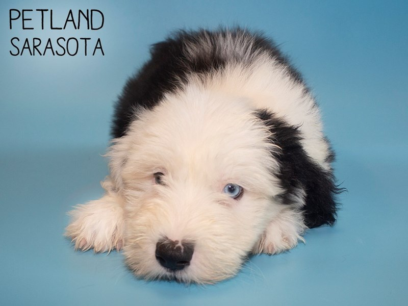 Old English Sheepdog-Male-Black White-2816767-Petland Sarasota