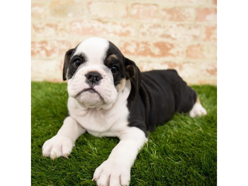 English Bulldog-Male-Black White / Tan-2865651-Petland Sarasota