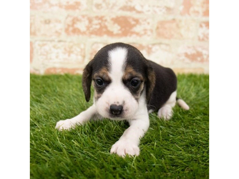 Beagle-Female-Black White / Tan-2893424-Petland Sarasota