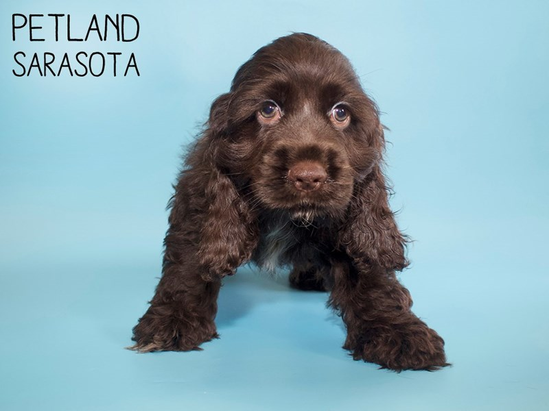 Cocker Spaniel-Male-CHOC WHITE-2853945-Petland Sarasota