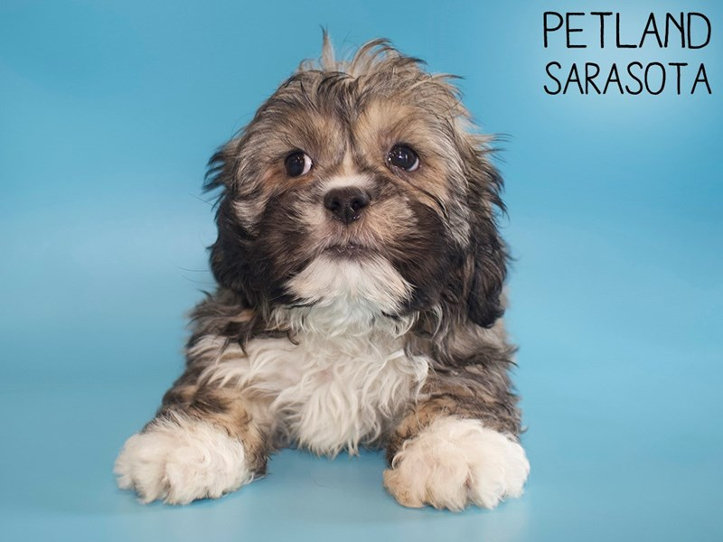 Lhasa Apso-Male-BROWN WHITE-2917368-Petland Sarasota