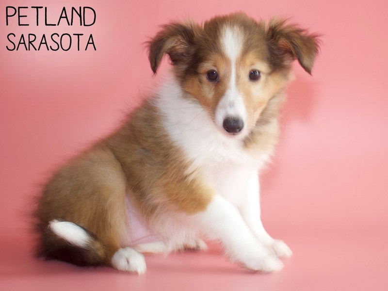 Shetland Sheepdog-Female-Sable & White-2917509-Petland Sarasota