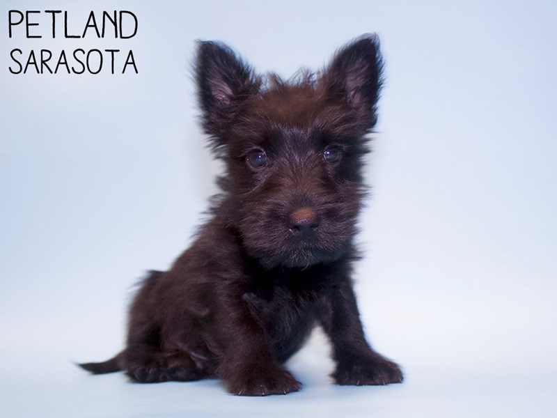 Scottish Terrier-Male-Black-2928694-Petland Sarasota