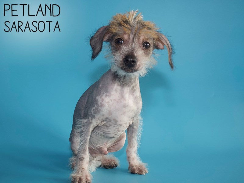 Chinese Crested-Male-Red / White-2907297-Petland Sarasota