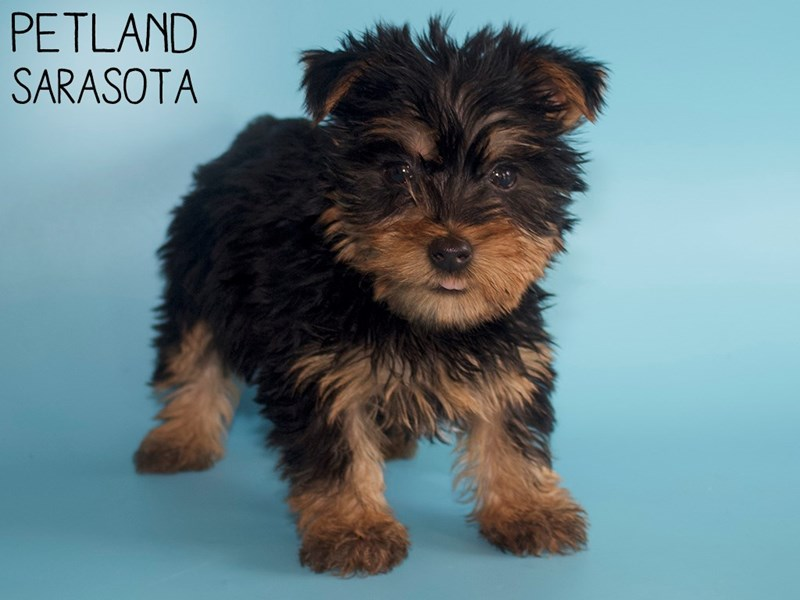 Silky Terrier-Male-Black / Tan-2951316-Petland Sarasota