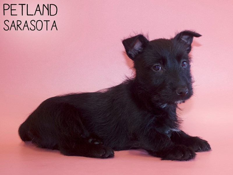 Scottish Terrier-Female-Black-2969365-Petland Sarasota