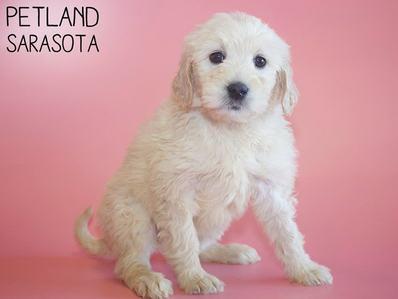 Goldendoodle-Female-Golden-2984323-Petland Sarasota