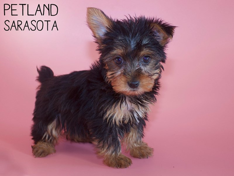 Yorkshire Terrier-Female-Black / Gold-2951310-Petland Sarasota