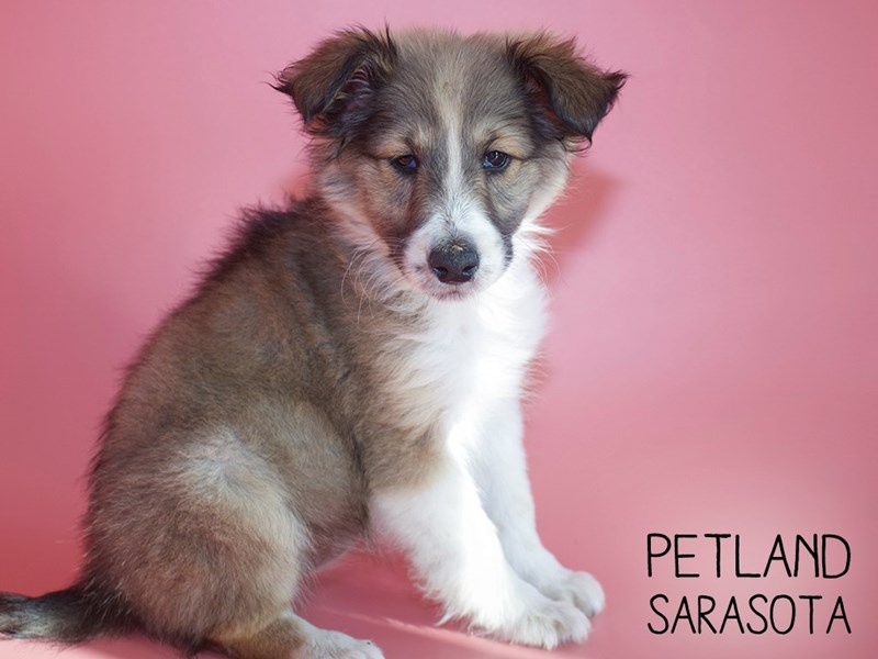 Shetland Sheepdog-Female-Sable / White-2951318-Petland Sarasota