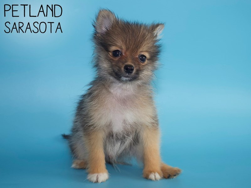 Pomeranian-DOG-Male-Red Sable-2951305-Petland Sarasota