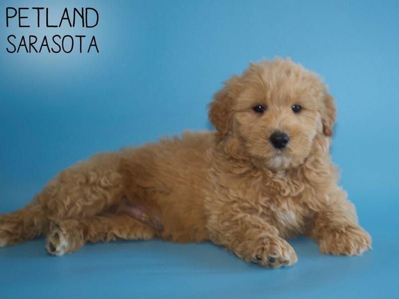 Goldendoodle-Male-Golden-2968377-Petland Sarasota