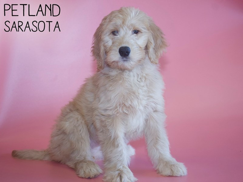 Goldendoodle-DOG-Female-creme-2971478-Petland Sarasota