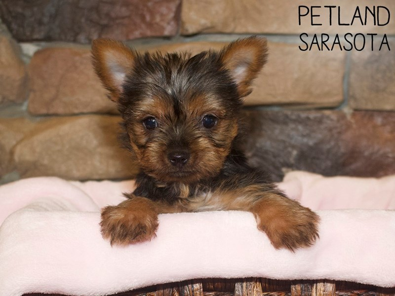 Yorkshire Terrier-Female-BLK TAN-3044437-Petland Sarasota