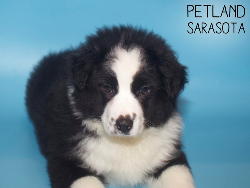 Australian Shepherd-Male-Black and White-3015491-Petland Sarasota