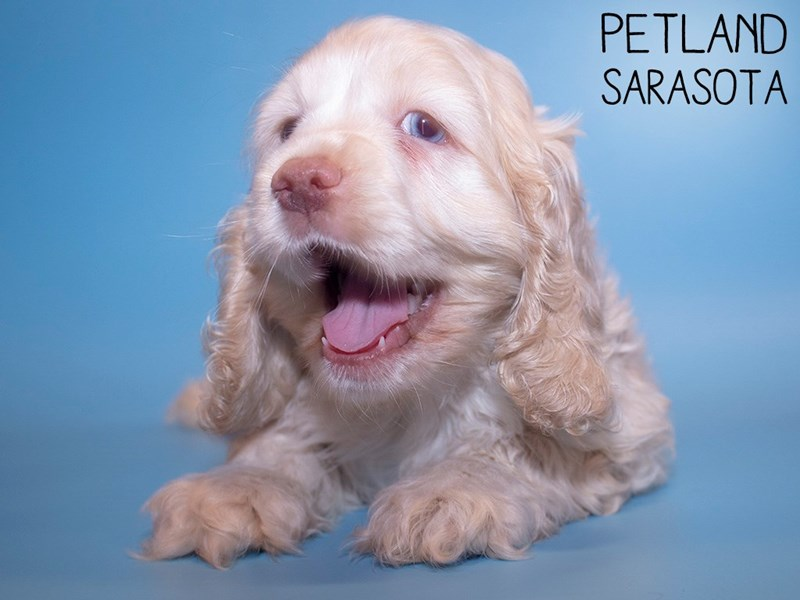 Cocker Spaniel-Male-TAN-3024842-Petland Sarasota