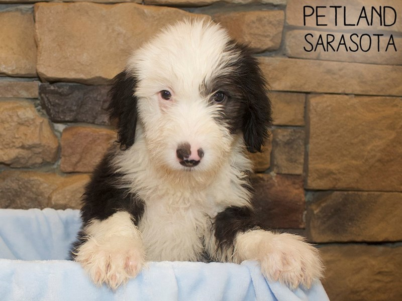 Old English Sheepdog-Male-BLK WHITE-3044496-Petland Sarasota