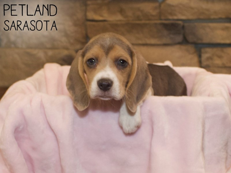 Beagle-Female-BLACK/TAN & WHITE-3070499-Petland Sarasota