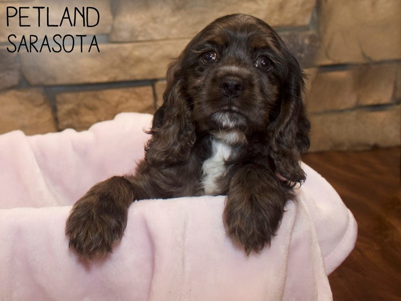 Cocker Spaniel-Female-Black-3070493-Petland Sarasota